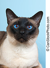 Seal point Siamese cat with blue eyes
