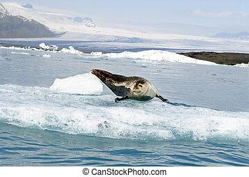 Seal posing over Big Ice rock at Jokusarlon Glacier Lagoon...