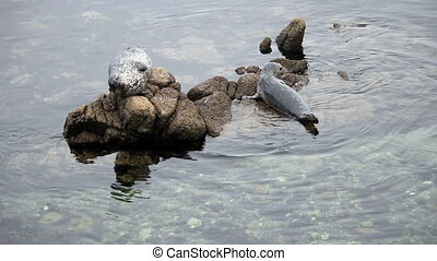 Seal Pulling Itself Up On Rock