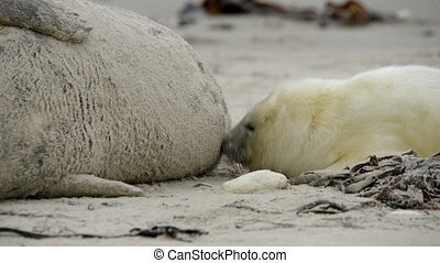 seal pup searching for milk close