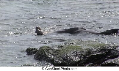 Seal relax in water near beach Galapagos.