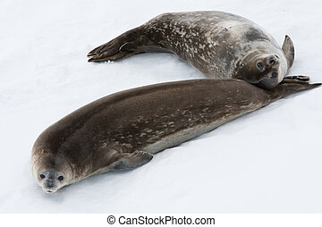Seal rests - Seals rests on the snowy slopes of the...