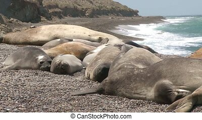 Seal rookery on the coastline. The