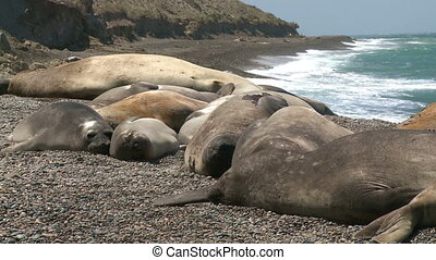 seal rookery - Seal rookery on the coastline of Atlantic...