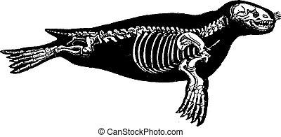 Seal skeleton, vintage engraving.