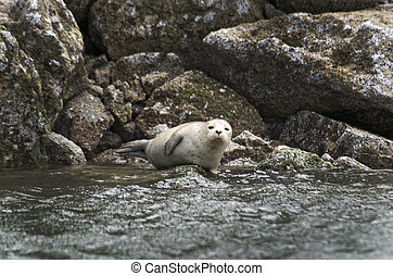 Seal Sleeping on Rocks - Grey seal sleeping on rocks in the ...