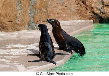 Seal - Eared seal