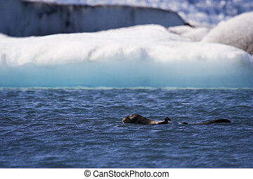 A seal swims in the icy, blue waters of Jokusarlon Glacial Lagoon