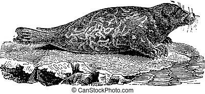 Seal, vintage engraving.