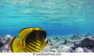 Sealife Background in the Red Sea, Egypt. Butterflyfish...