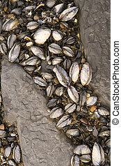 Sealife clinging to the rocks on the beach. Shellfish in cracks in the rocks.