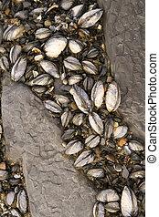sealife, plakkerig, rotsen