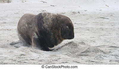 Sealion on beach in New Zealand