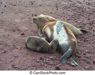 Sealion pup and mom, Galapagos Islands - Sealion pup and mom...