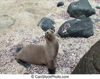 Sealion pup looking around on beach, Galapagos Islands