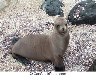 Sealion pup on the Galapagos Islands