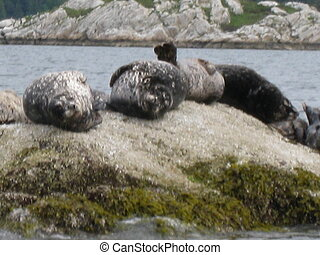 Seals Around Vancouver Island in Canada