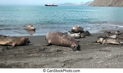 Seals families on beach on background of the ship Falkland Islands.