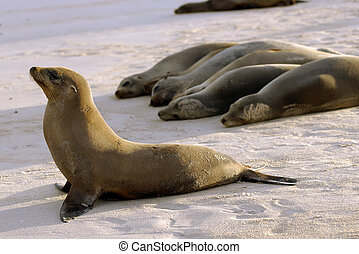 Seals in Formation - A group of Galapagos seals on a beach...