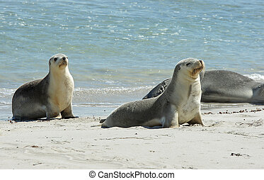 Seals, Kangaroo Island, Australia - Seals colony on Seal Bay...