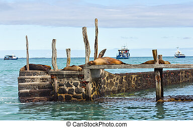 Seals lying on a pier. Galapagos