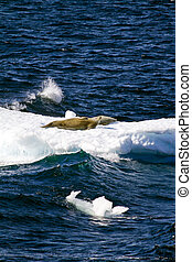 Seals On A Piece Of Floating Ice