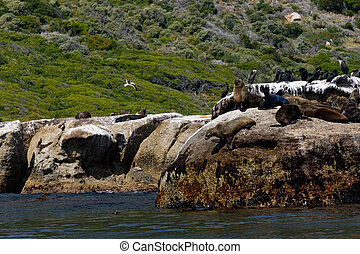 Seals on Cliffs - Seals Relaxing in Sun and Jumping from...