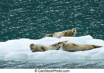 Seals resting on iceberg in Prince William Sound, Alaska