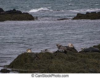 Seals on the Icelandic coast near Illugastadhir