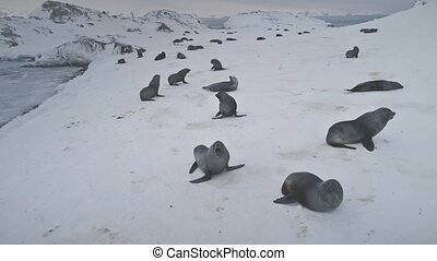 Seals playing on snow. Antarctica winter landscape