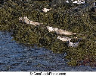 Seals sunbathe on the north coast of Iceland