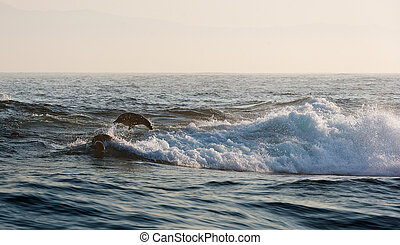 Seals swim and jumping out of water.