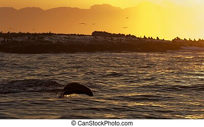 Seals swim and jumping out of water on sunset.