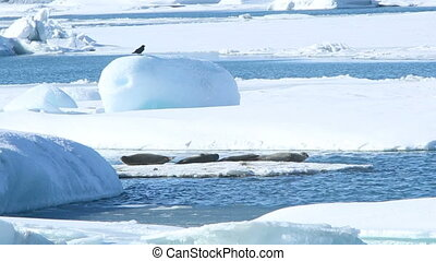 Seals swimming on an ice floe, part - Several seals swimming...