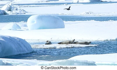 Seals swimming on an ice floe part4 - Several seals swimming...