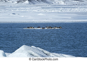 Seals swimming on an ice floe