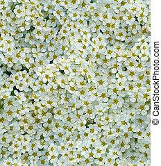 seamless, 白, ごく小さい, 花, 背景