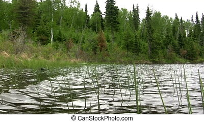 (Seamless Loop) Bed of Reeds Waving - A large group of reeds...