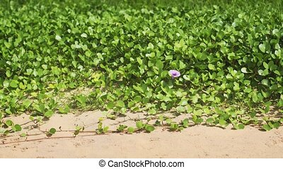 Seamless Loop of Ipomoea Flower and Leaves in a Breeze