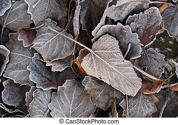 sear leaves with hoarfrost