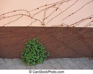 sear woodbine and green plant - sear woodbine on the wall...