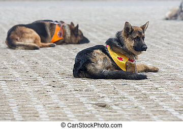 Search and rescue dogs. The animals are part of the rescue team of Red Cross Organization.