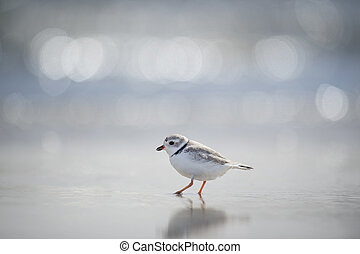 Searching Piping Plover
