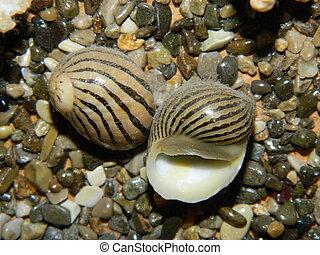 seashel, cockleshell