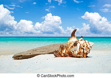 Seashell and drift wood on the beach - Large seashell and...