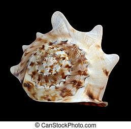 seashell, arrière-plan noir