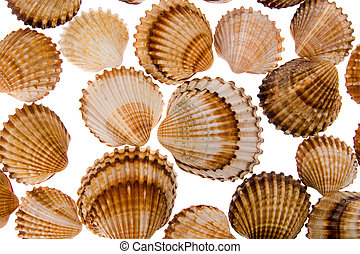 seashell - background