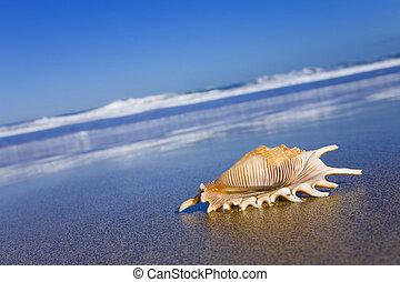 seashell, bech