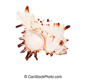 Seashell closeup isolated on white