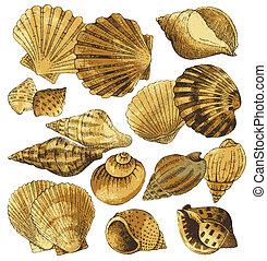 seashell, collection